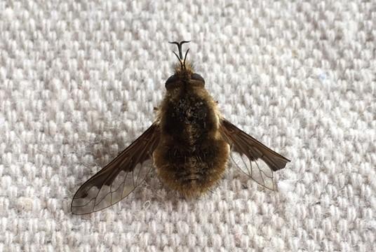 small fat bee.jpg