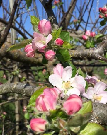 bramley bloom.jpg