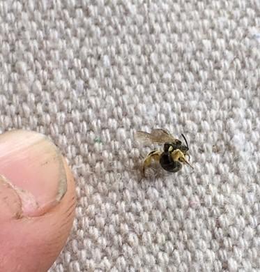 smallest pollinator.jpg
