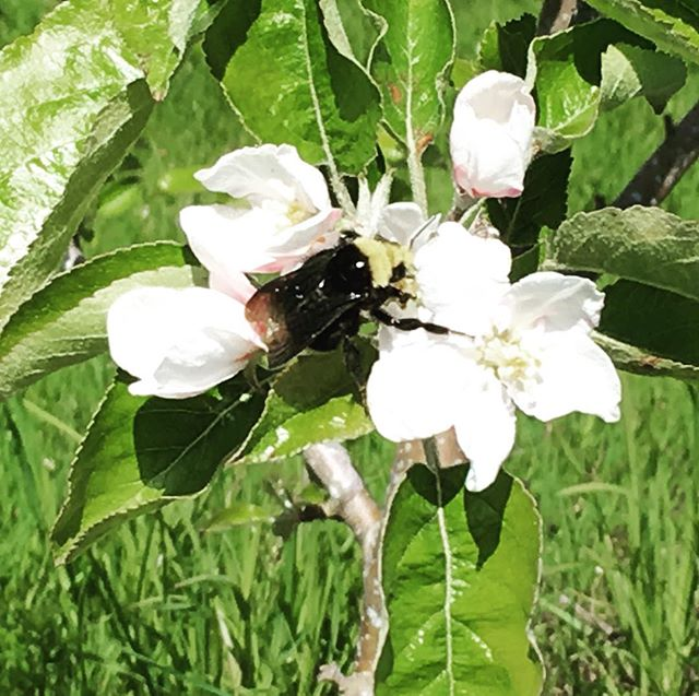 The bumble bees are all over the apple blooms this year. #queenerfarm #heirloomapples #beelove #applelove