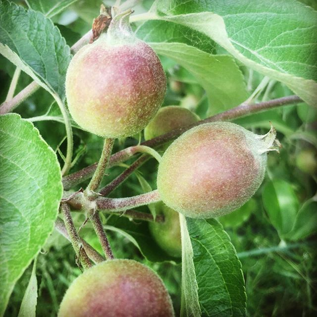 Baby apples! It's June in the orchard.