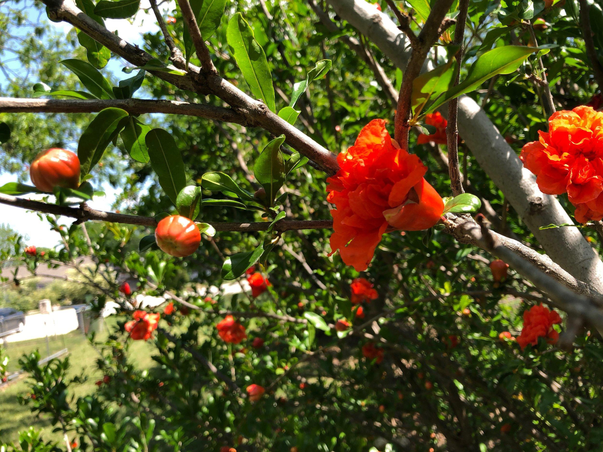 Pomegranates in bloom
