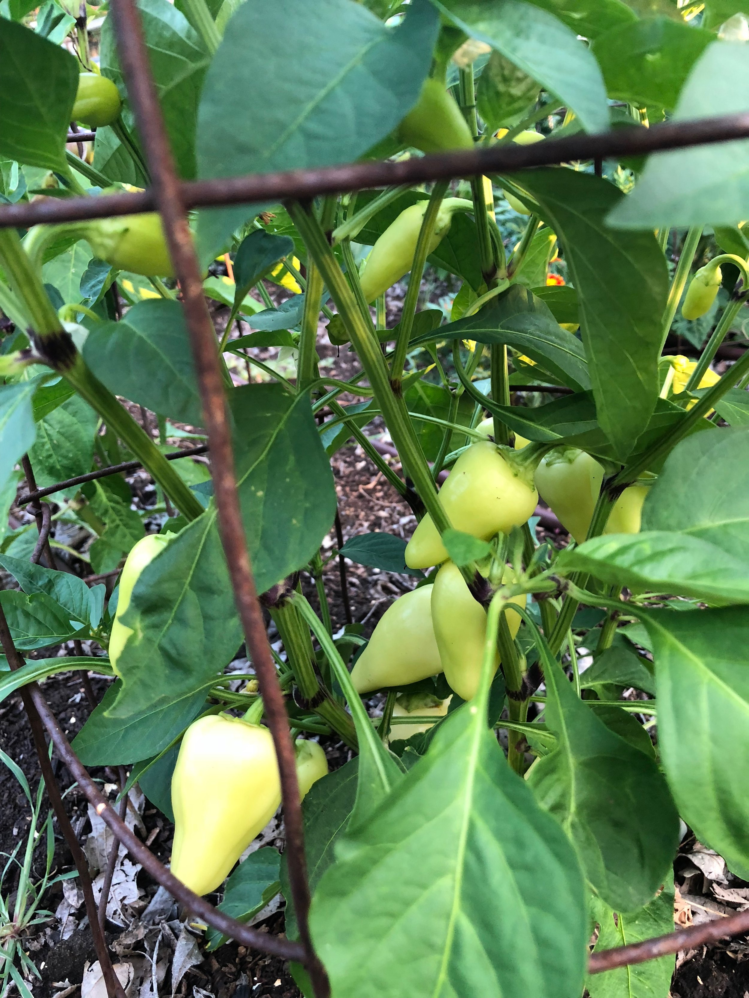Yellow peppers on the vine