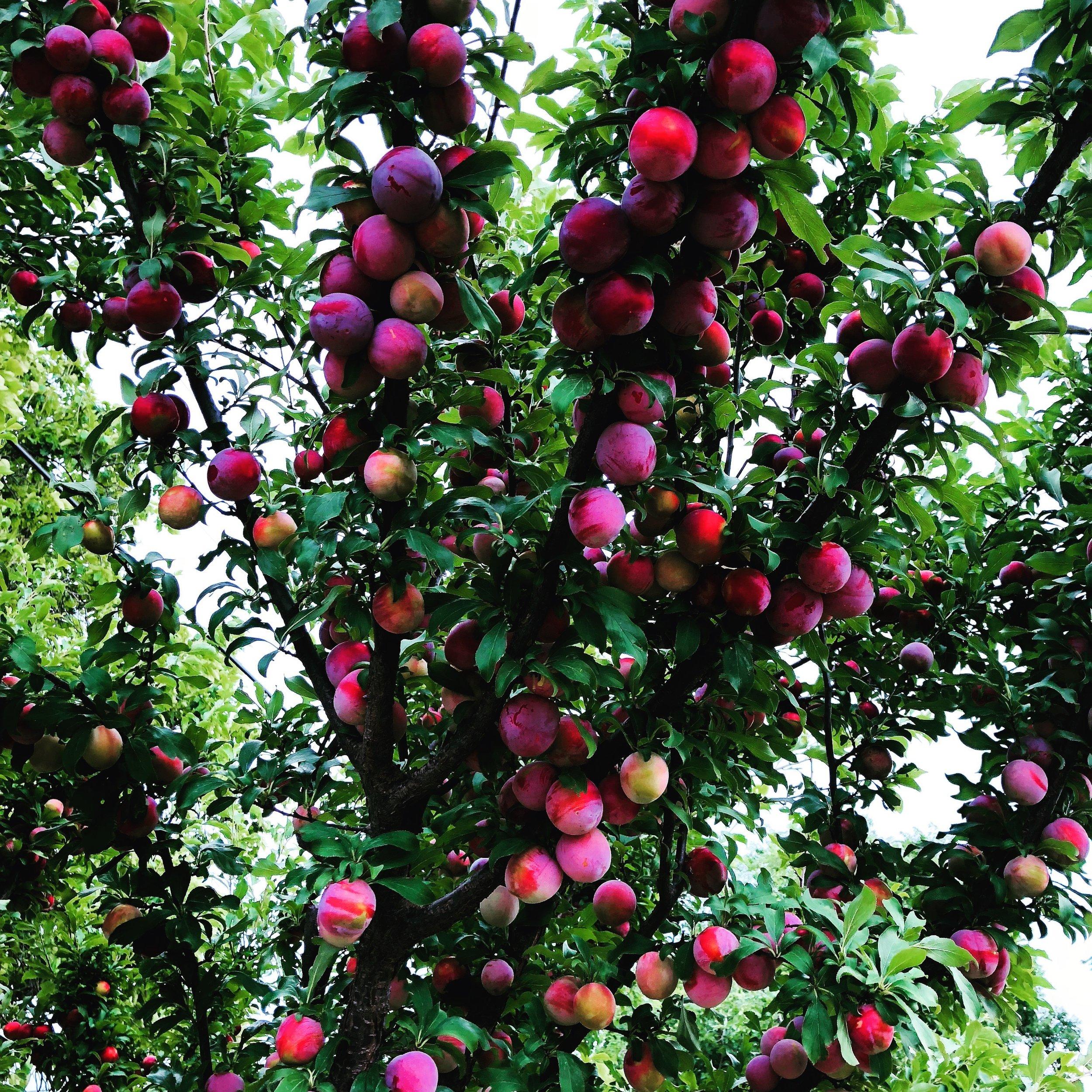 Garden plums ripening on the tree