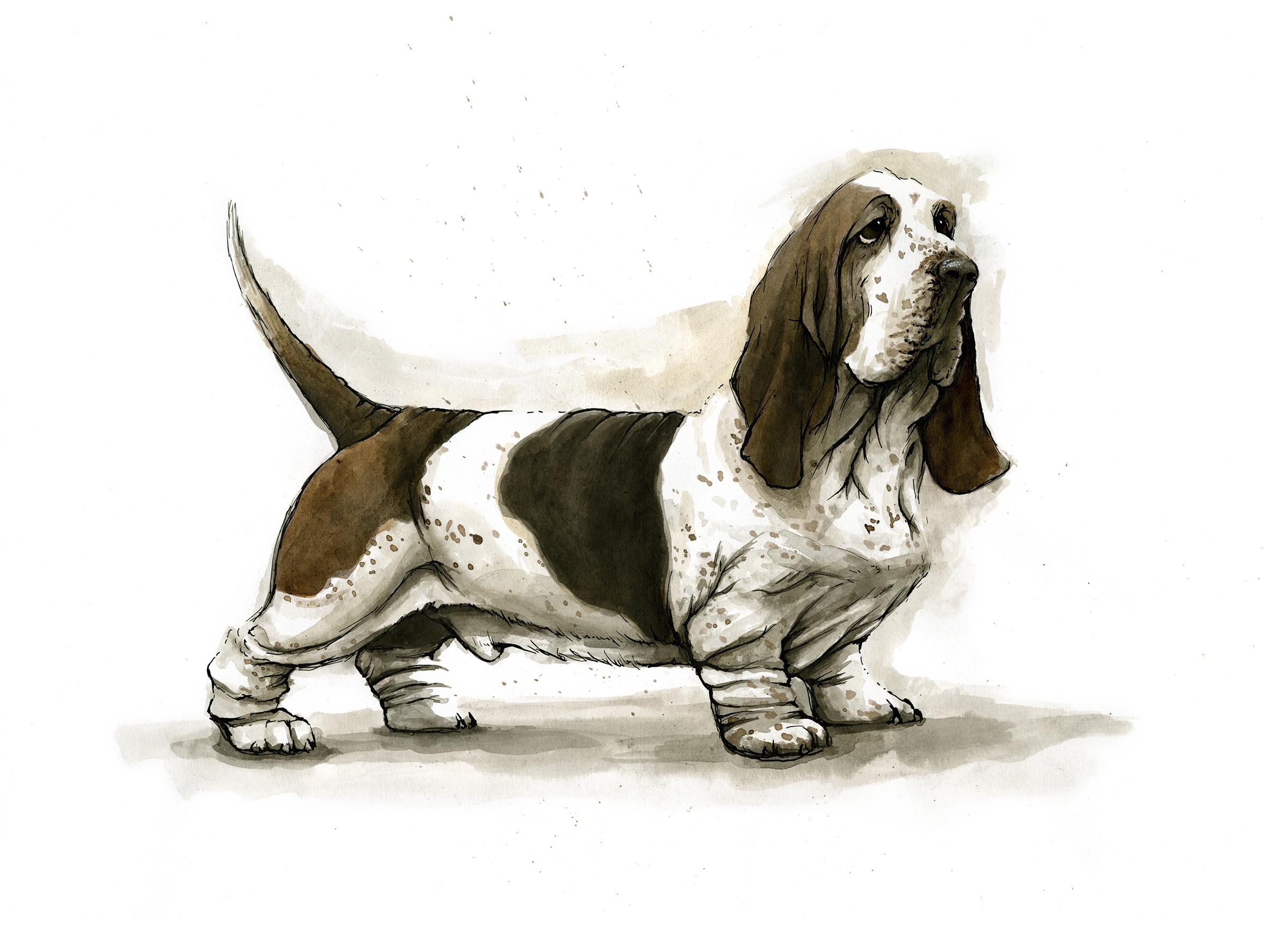 basset-hound.jpg