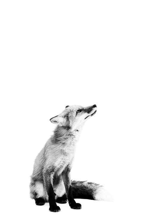 Art Basket Official Website Posters Artbasket Co Uk Set Of 3 Black And White Fox Poster Prints