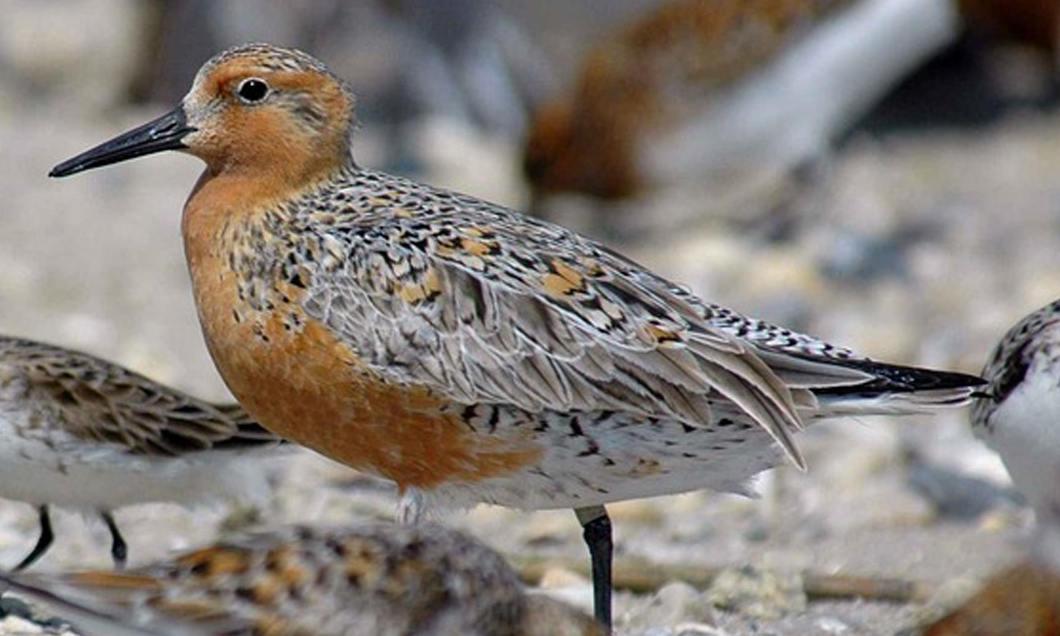 A Red Knot in breeding plumage.