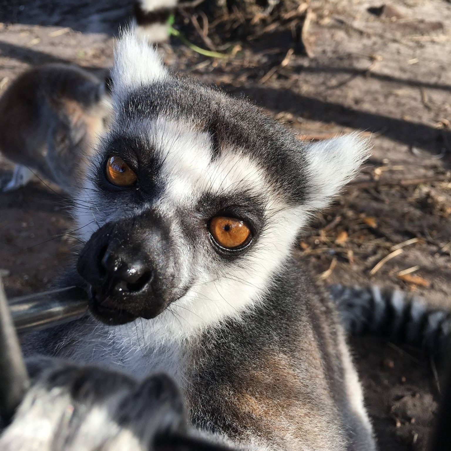 Peanut the Ring-Tailed Lemur saying see you later at Obloy Family Ranch in Merritt Island, Florida.