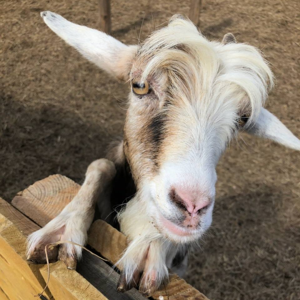 goat-saying-hello-obloy-family-ranch.jpg