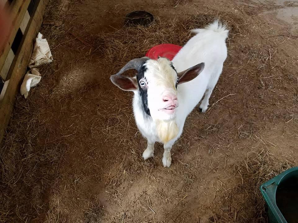 say-hi-to-goat-friend-obloy-family-farm.jpg