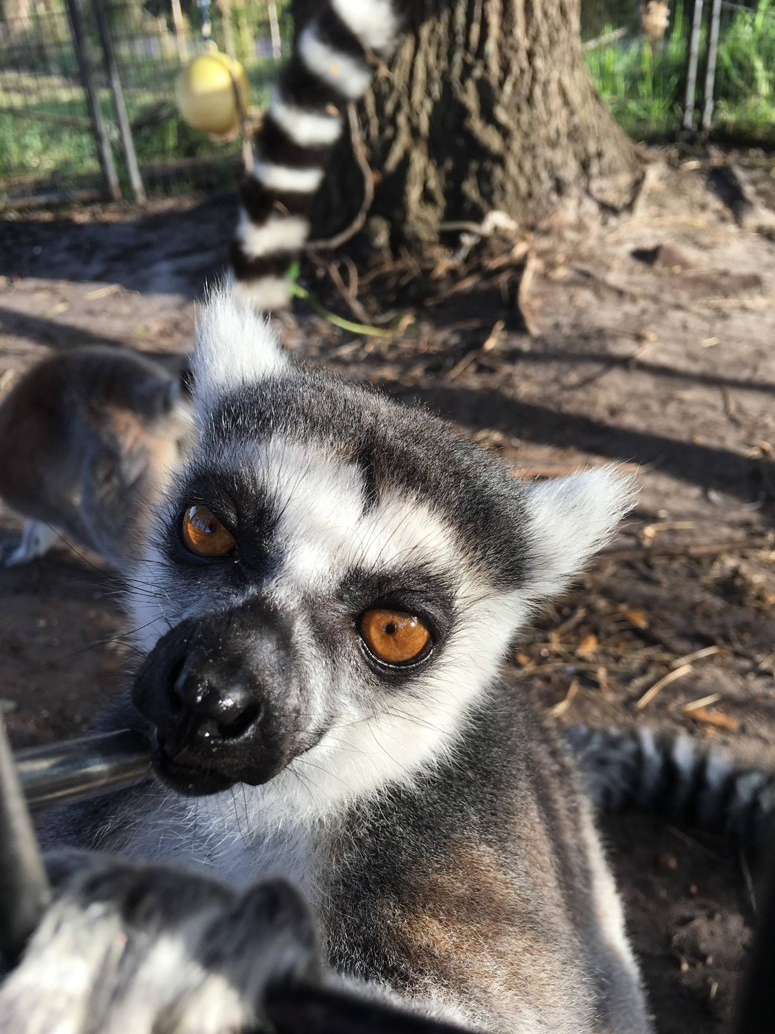 peanut-the-ring-tailed-lemue-obloy-family-ranch.jpg