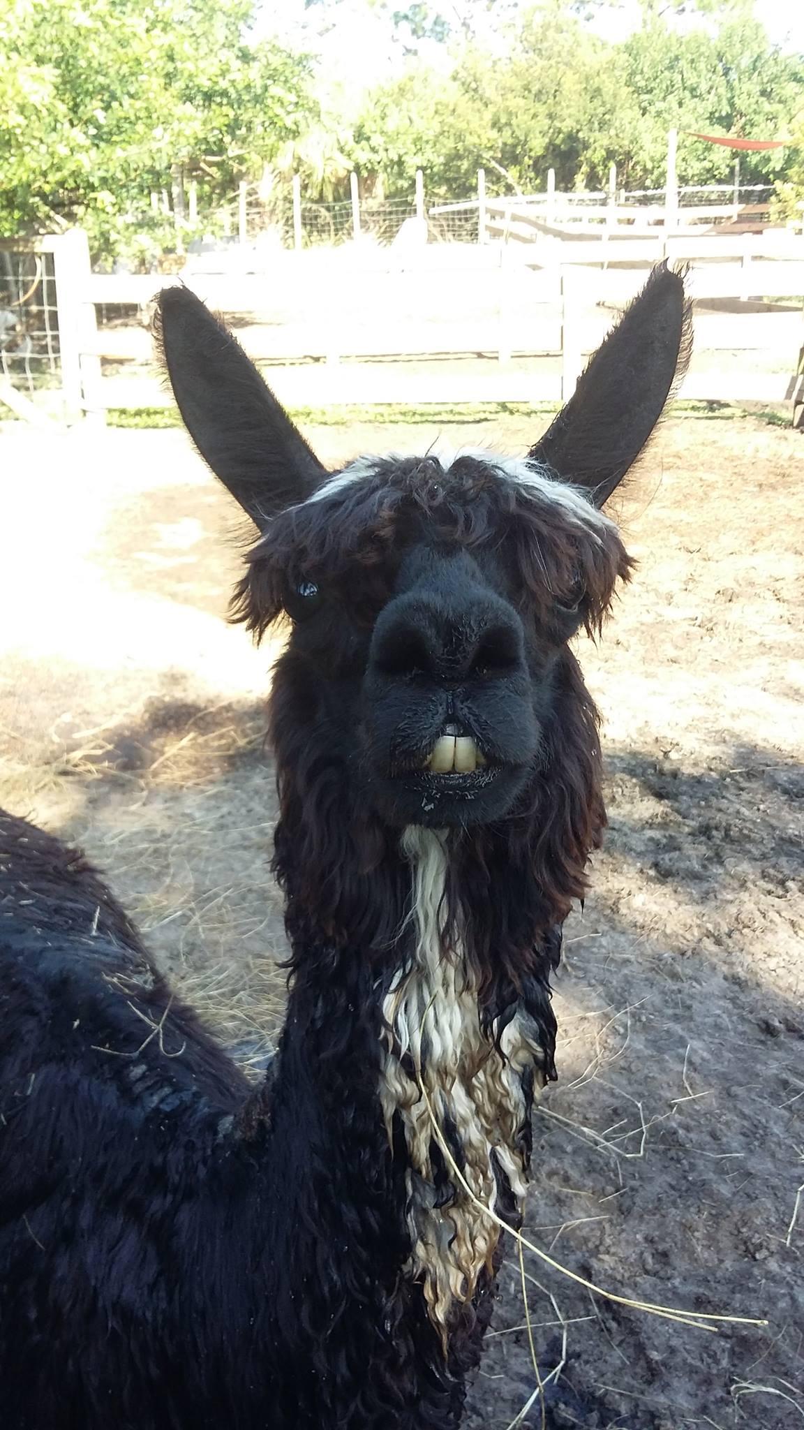 llama-saying-hello-obloy-family-petting-farm.jpg
