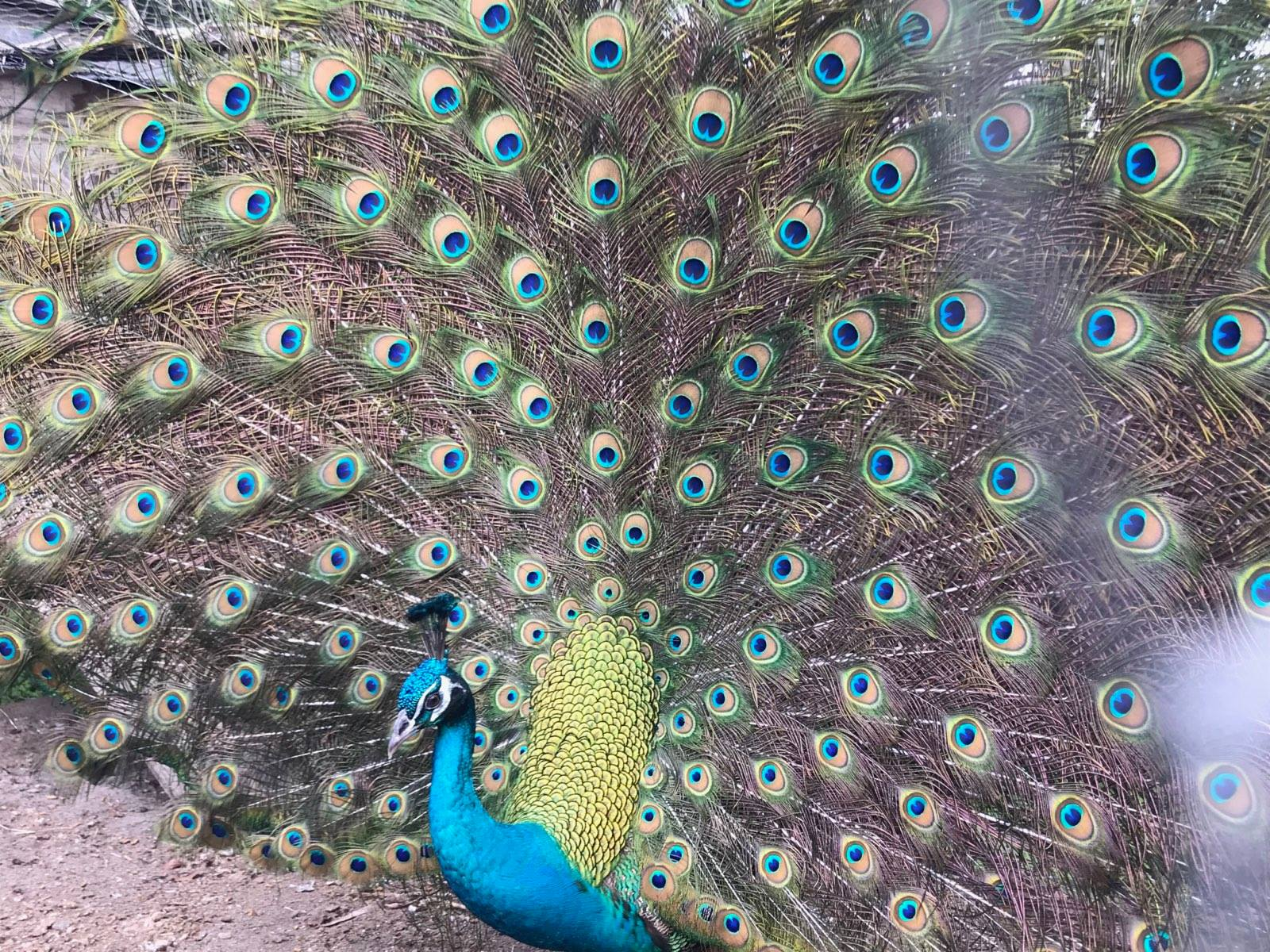 beautiful-bob-the-peacock-obloy-family-ranch.jpg