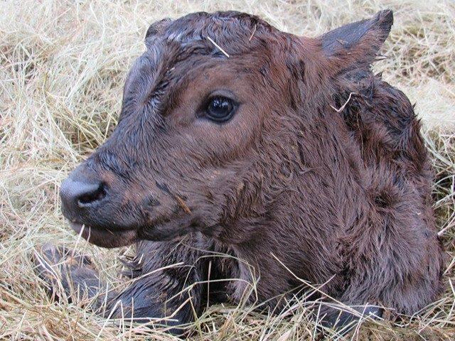baby-calf-just-born-obloy-family-ranch-florida.jpg