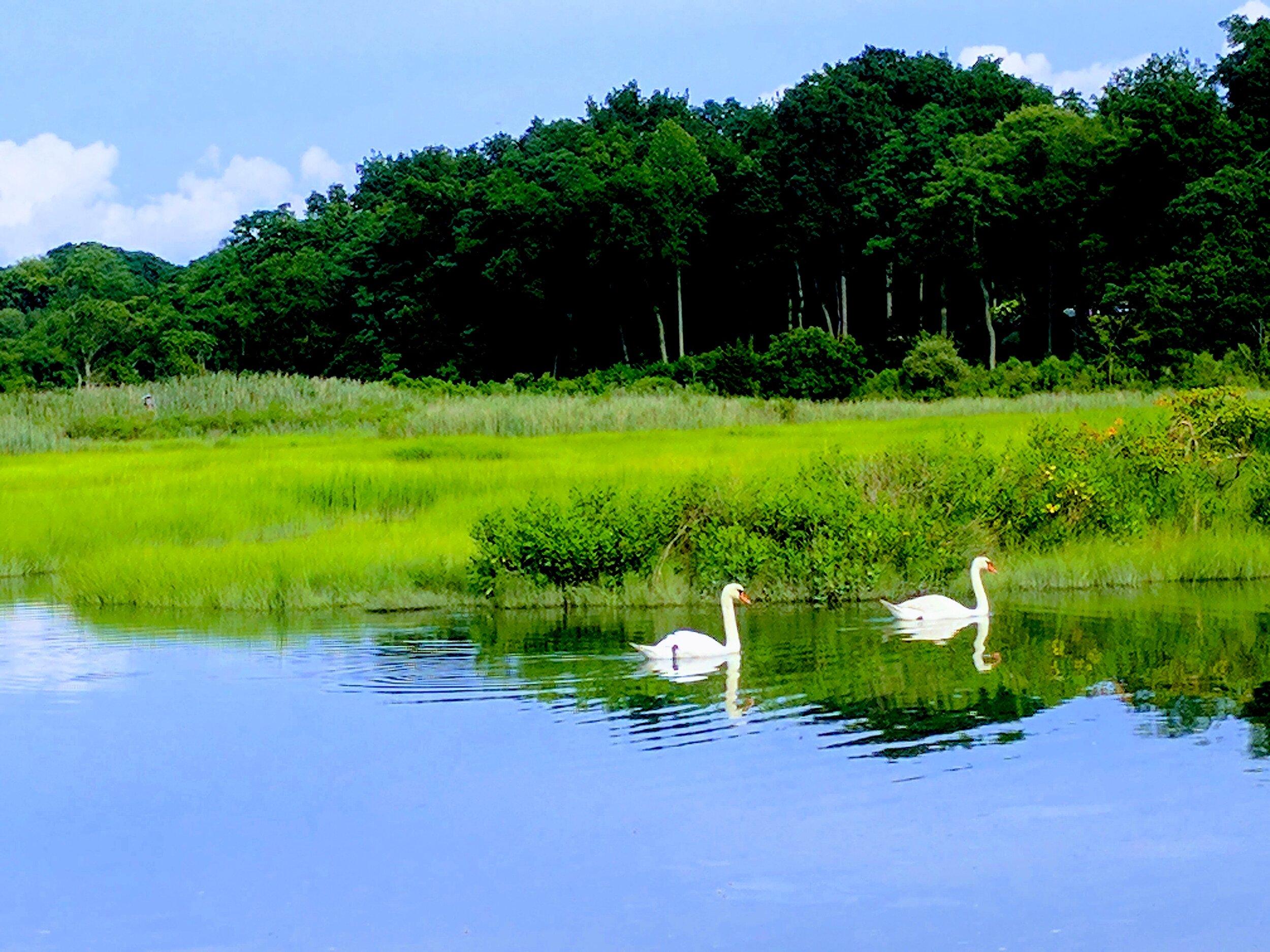 swans on the creek.jpg