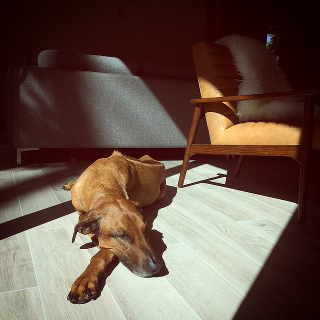 Part time Noorish House resident finds a beam of sun to doze off in. Leather chairs by  Article.