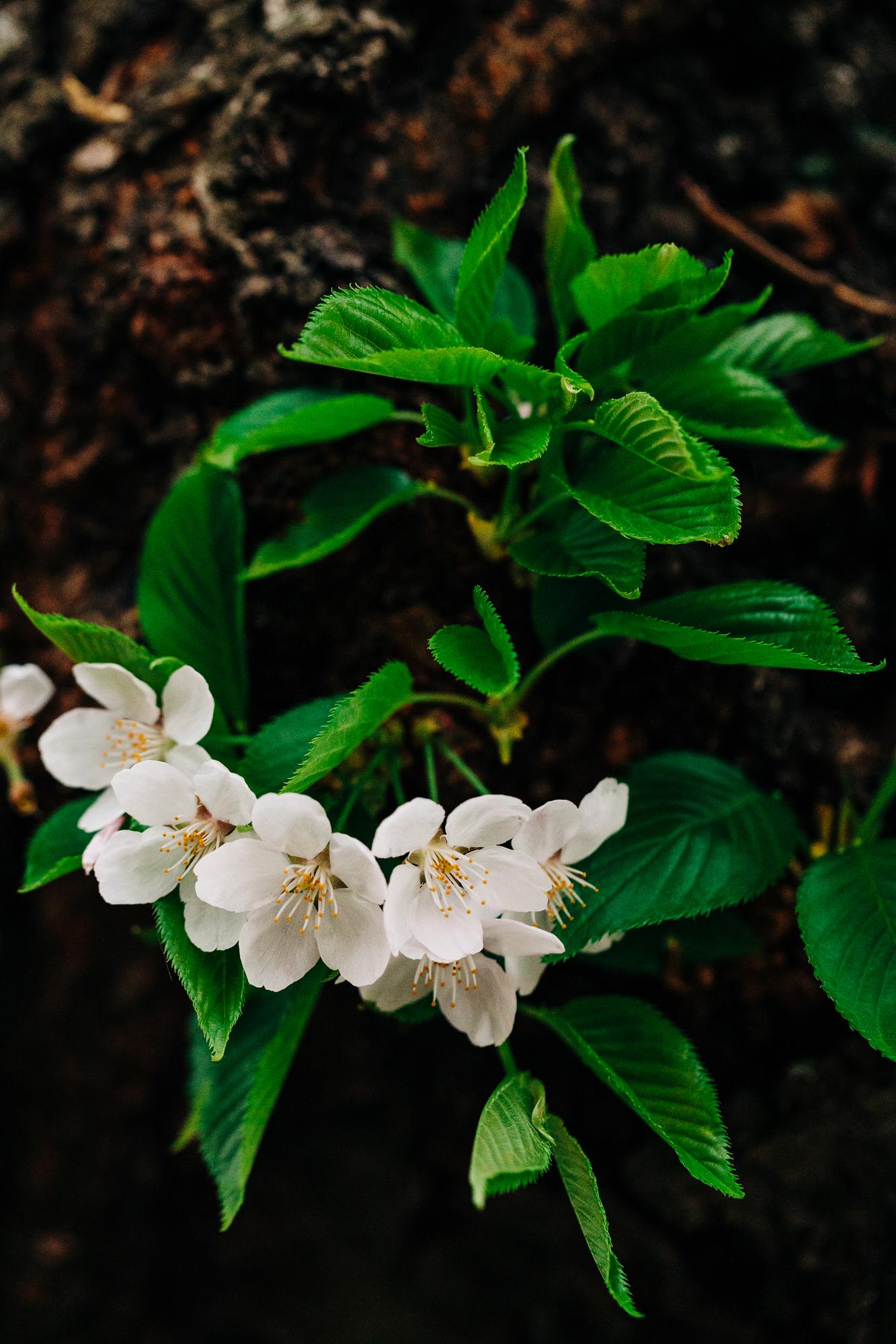 UW-Cherry-Blossom-8.jpg
