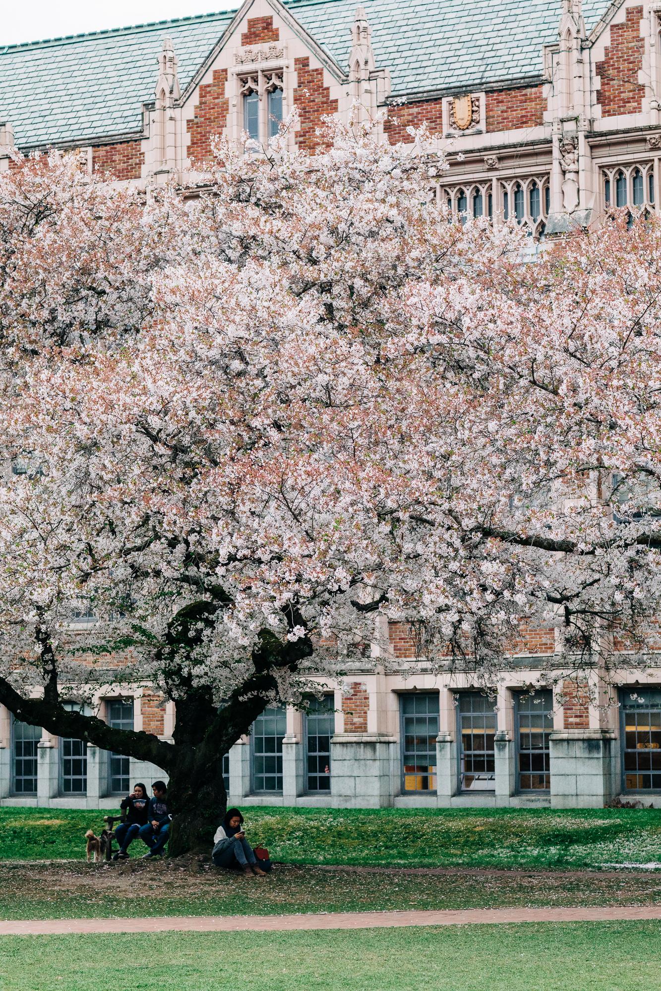 UW-Cherry-Blossom-9.jpg
