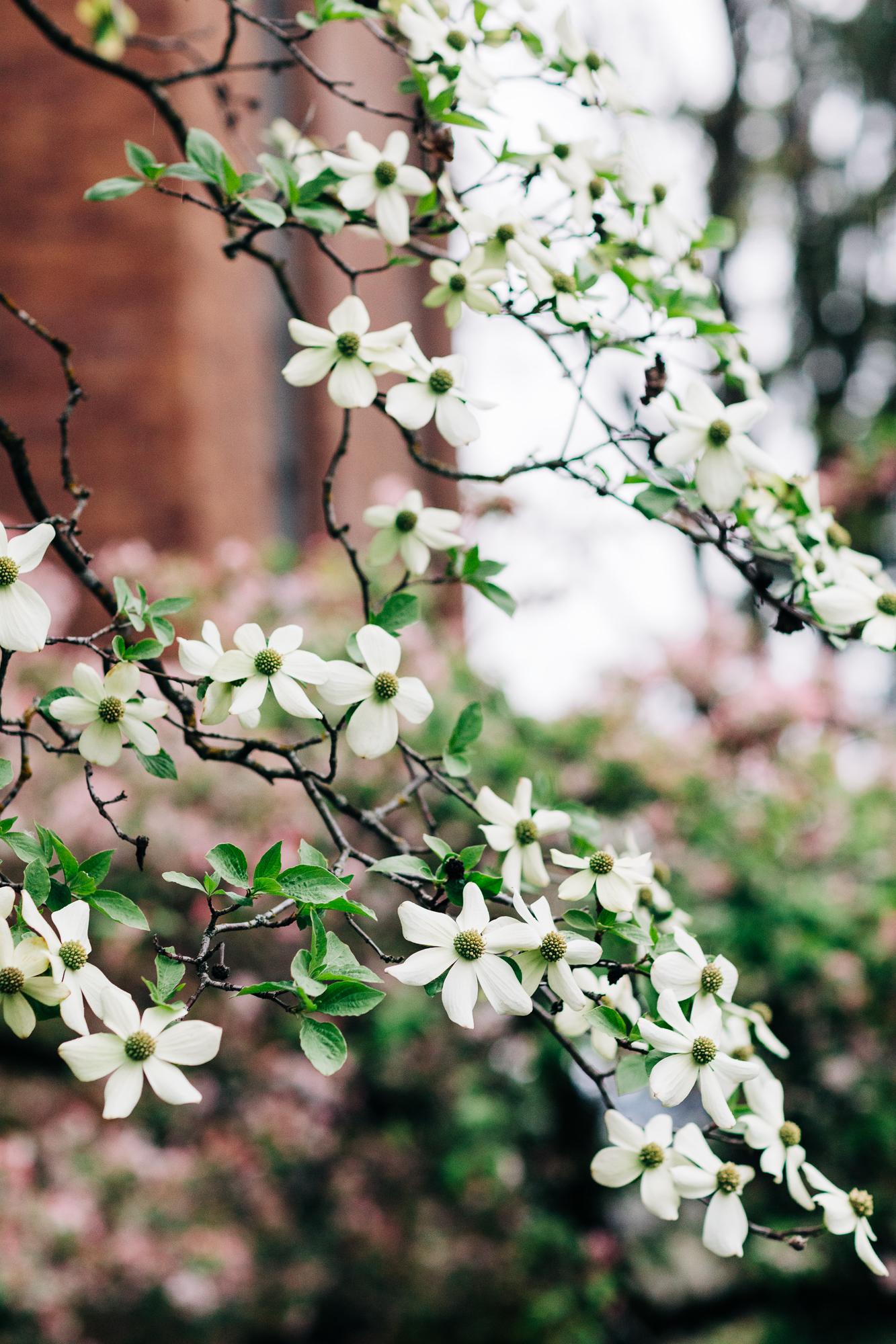 UW-Cherry-Blossom-12.jpg