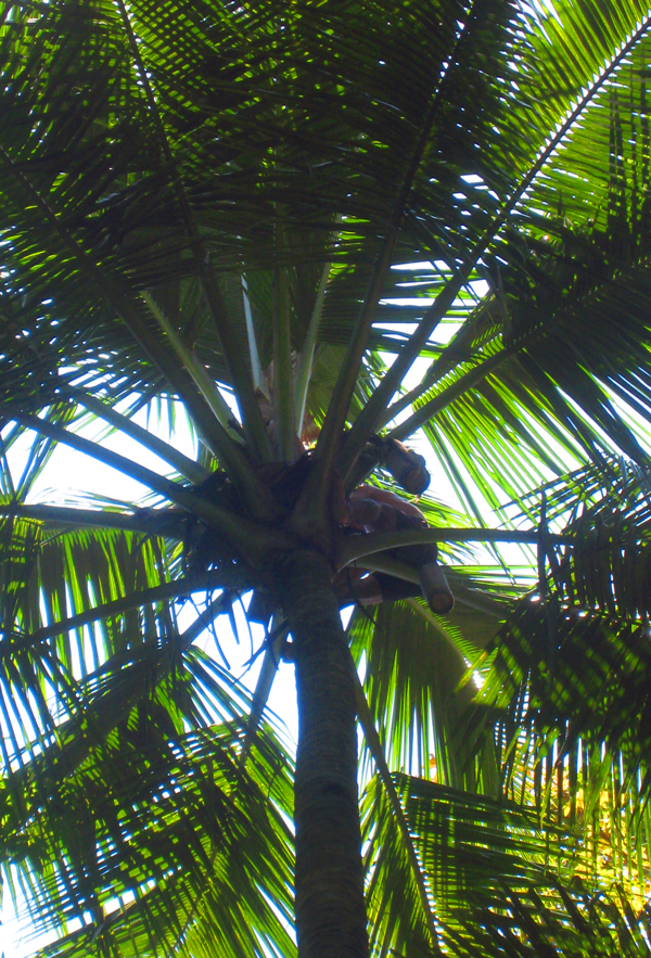 bali-coconut-tree.jpg