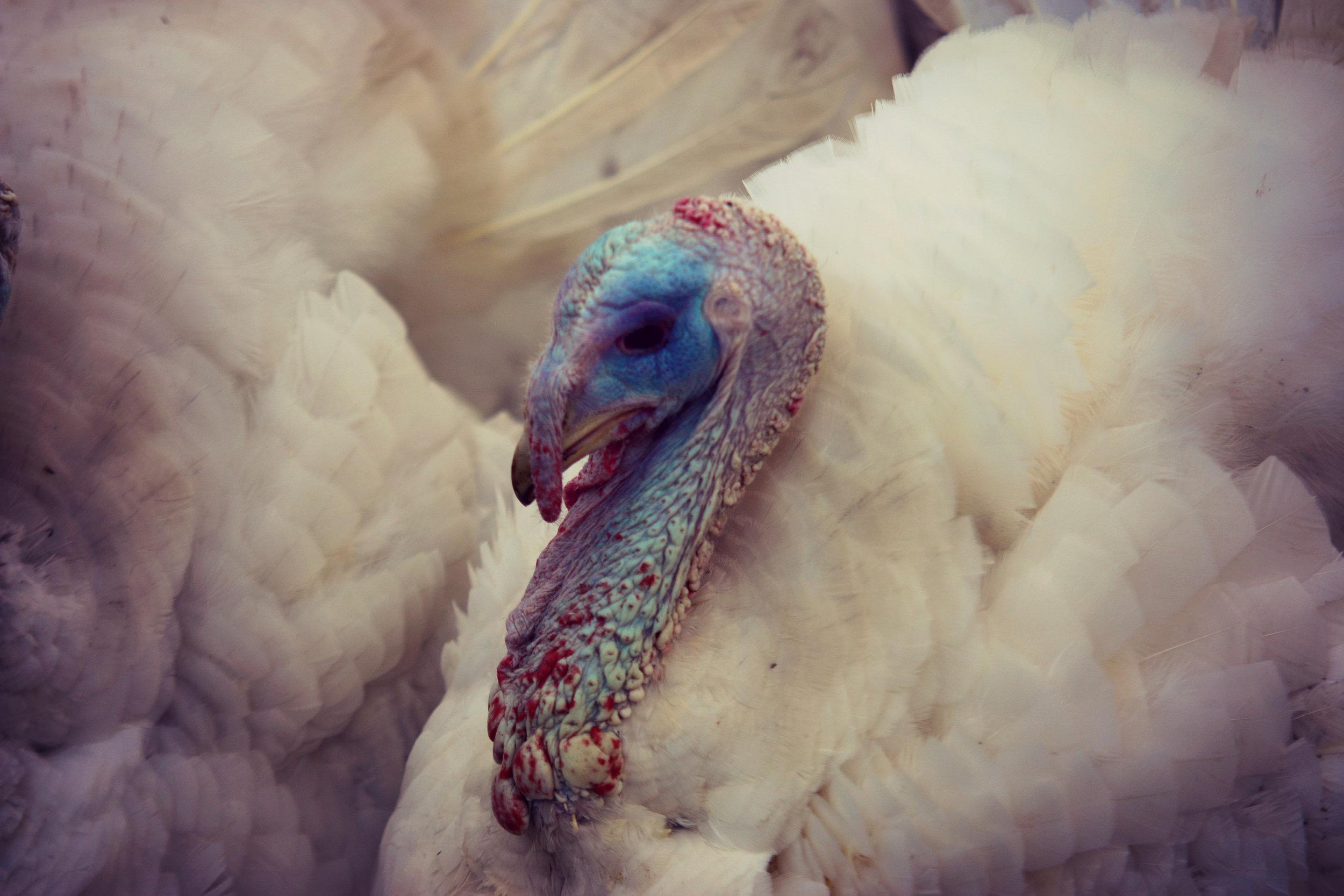 Big Boy Turkeys.jpg