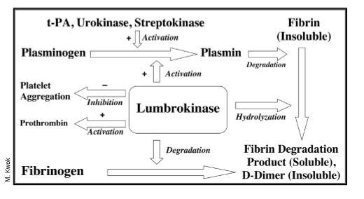 Diagram 1   Lumbrokinase Mechanism