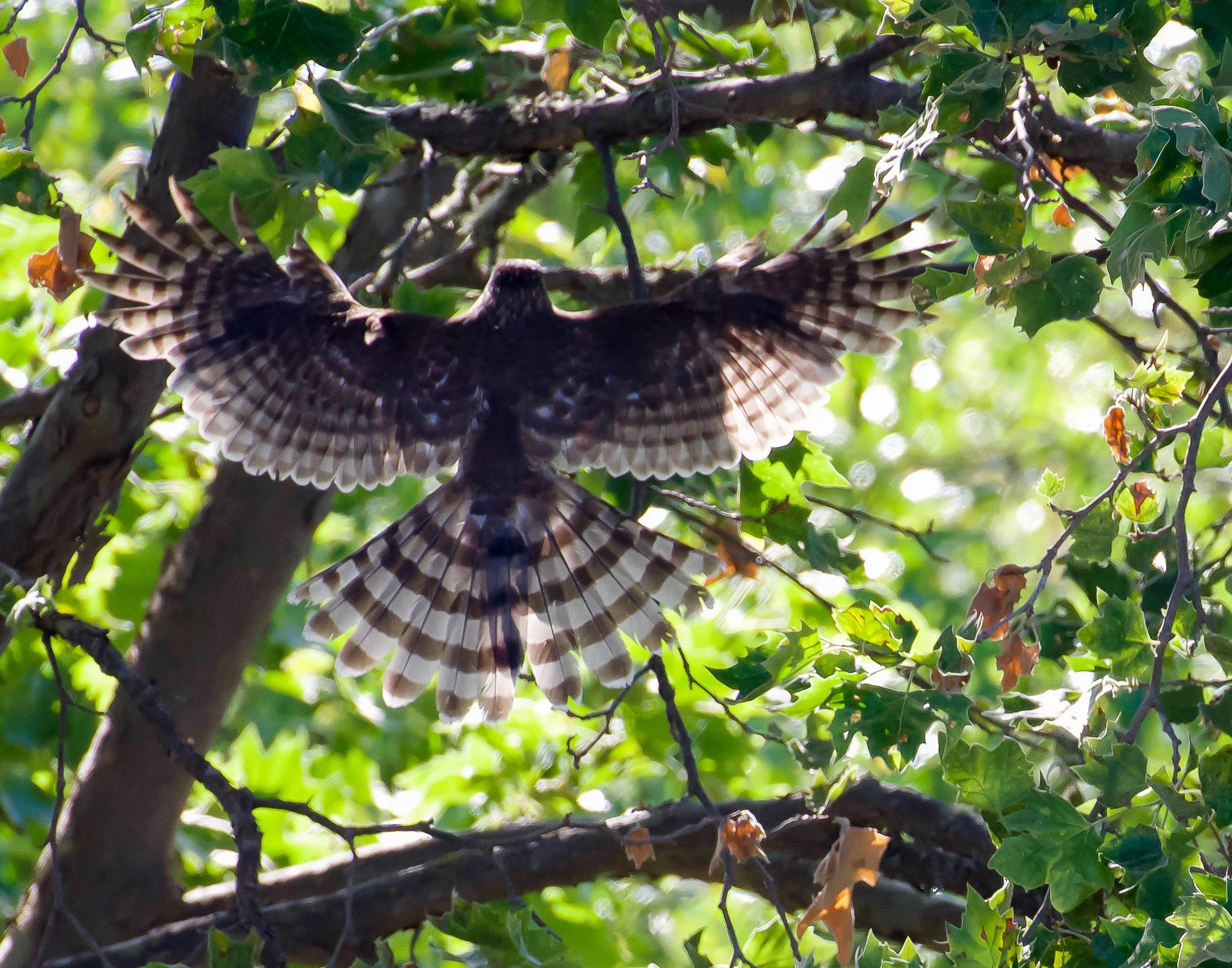 cooper's hawk landing_8929.jpg