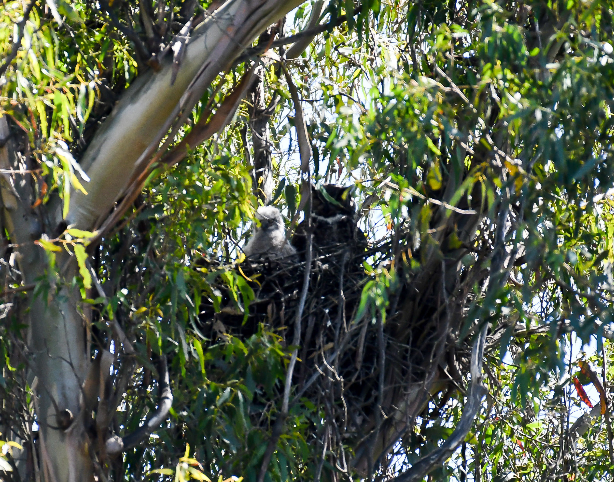mother great horned owl with baby owl in nest.jpg