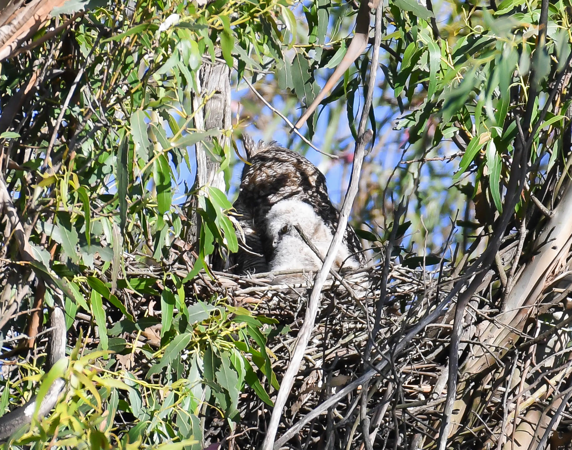 A baby Great Horned Owl snuggling up to its mother owl in their nest