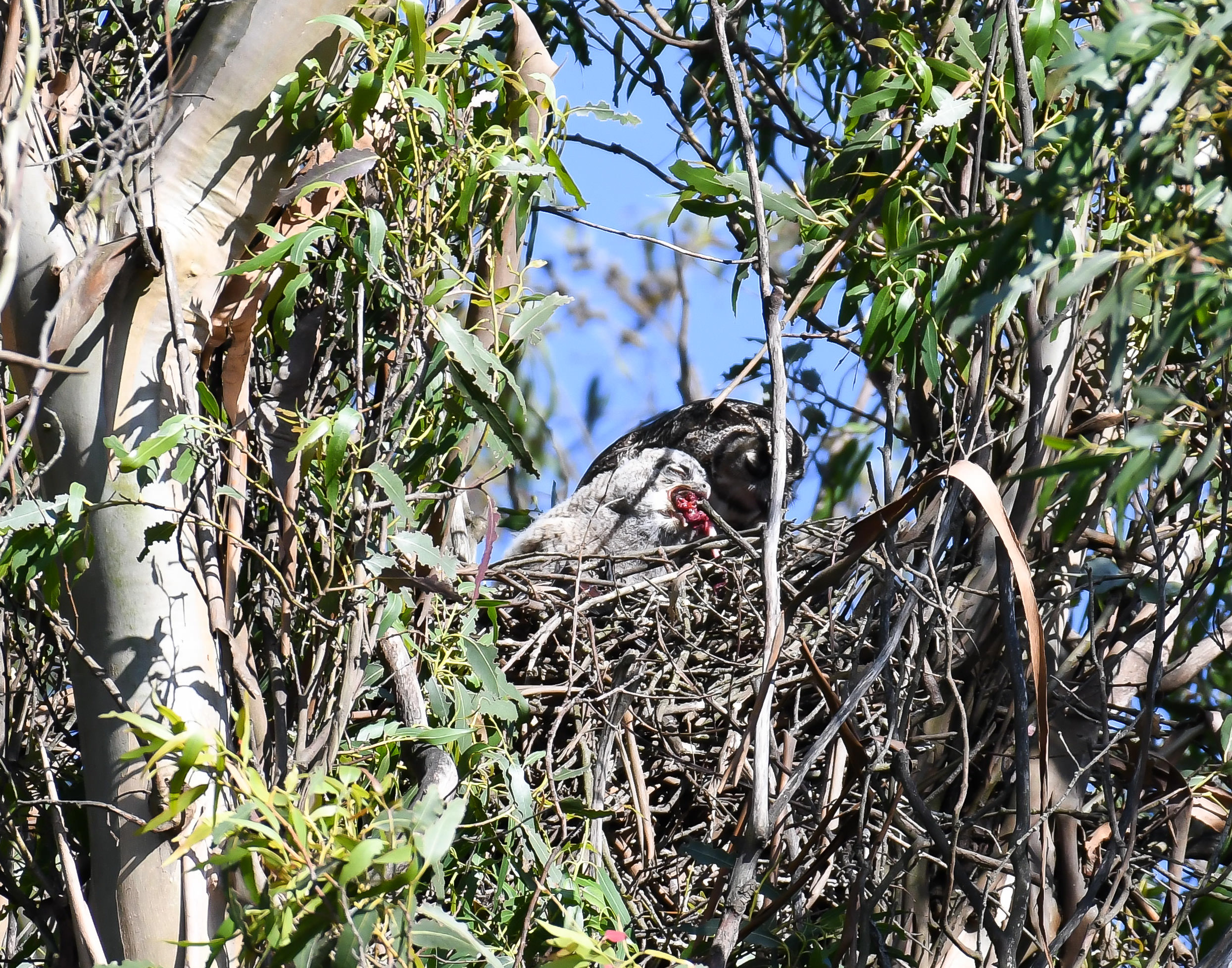 Baby Great Horned Owl in the nest eating