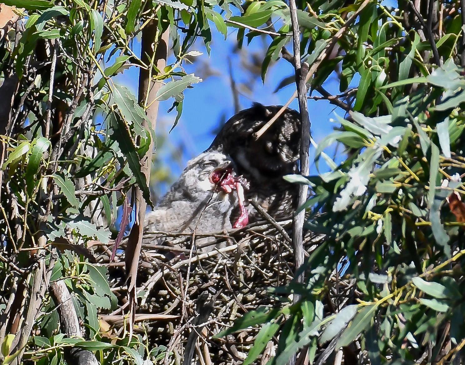 baby great horned owl in nest feeding.jpg