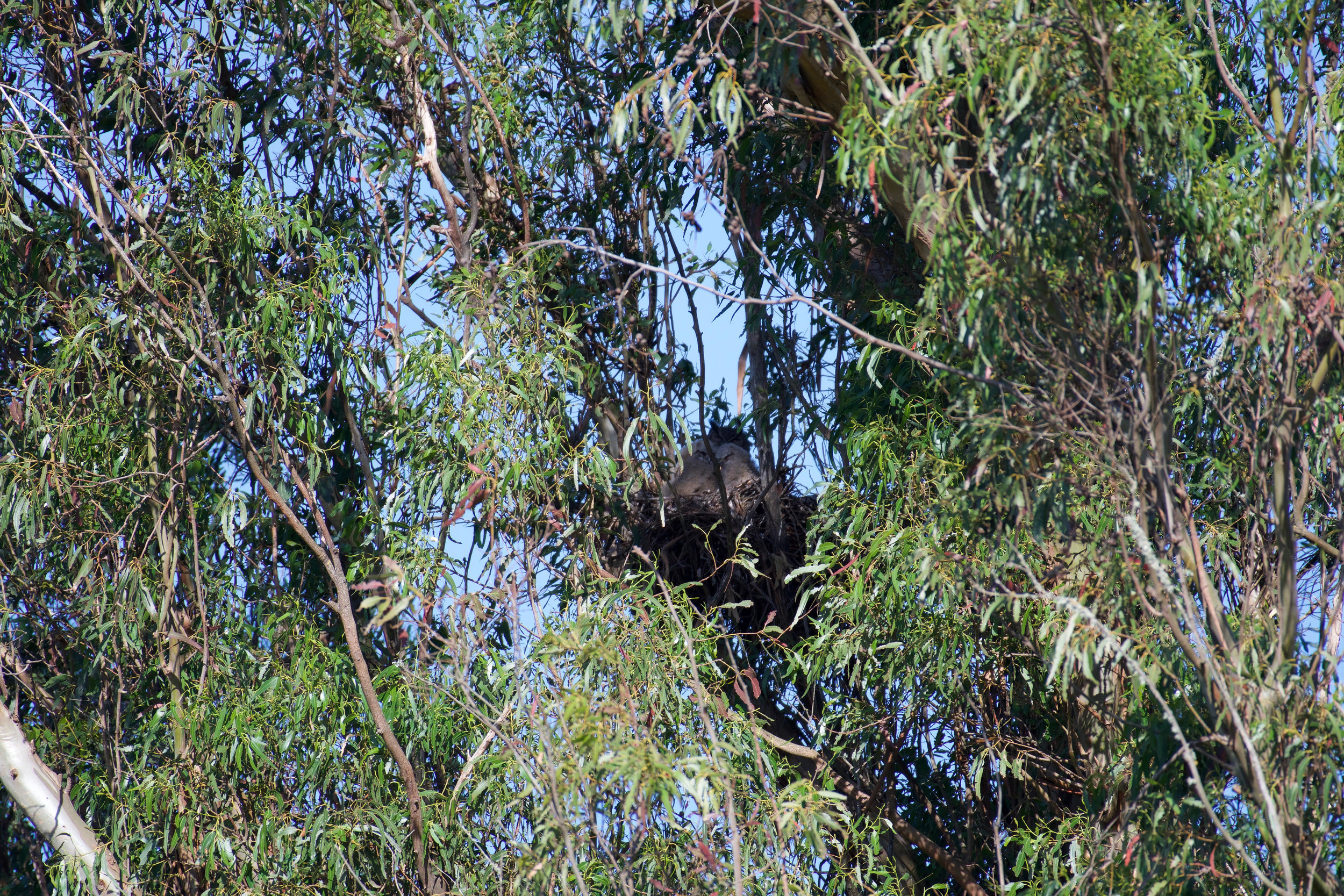 A mother great horned owls with her two baby owls safely hidden in their nest