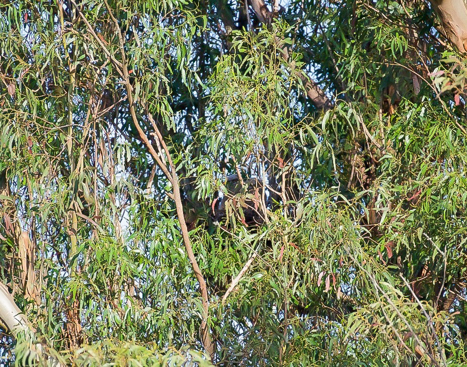A very hard to see nest of the great horned owls, with two baby owls growing bigger every day