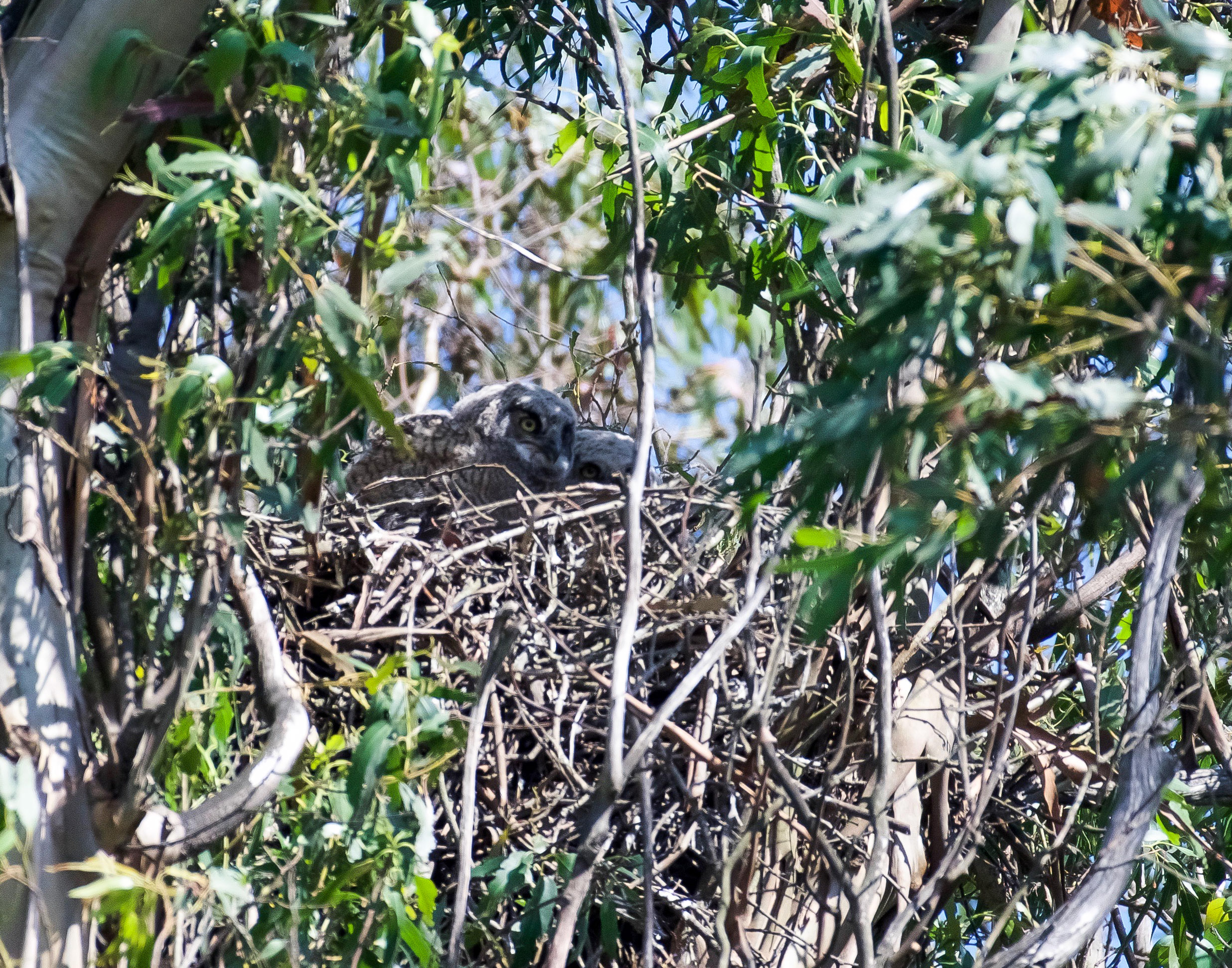 Two fledgling great horned owls in their nest waiting for food to be delivered by their parents