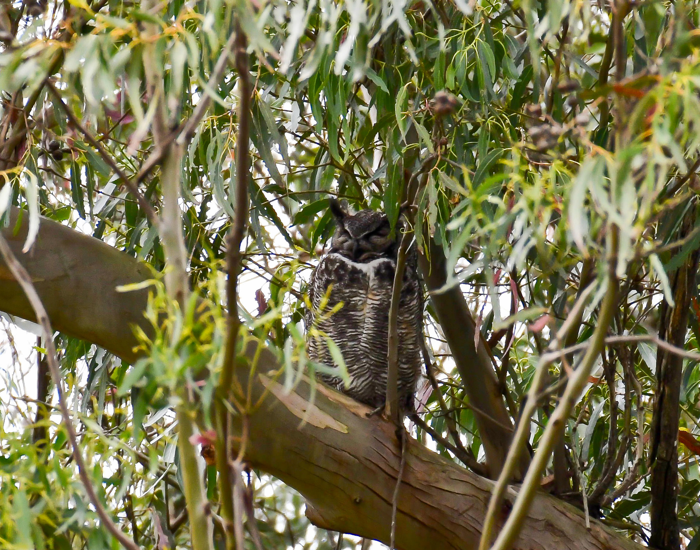 A mother great horned owl guarding her young owls