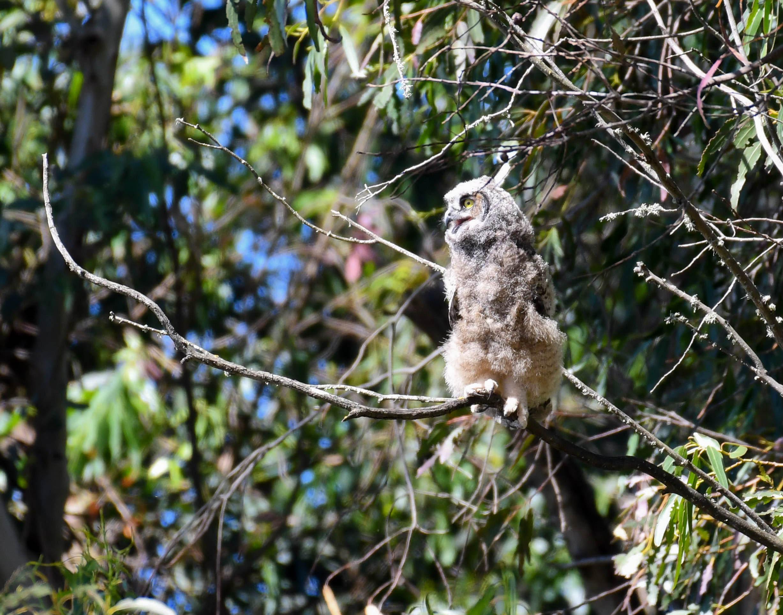 fledged great horned owl on branch.jpg