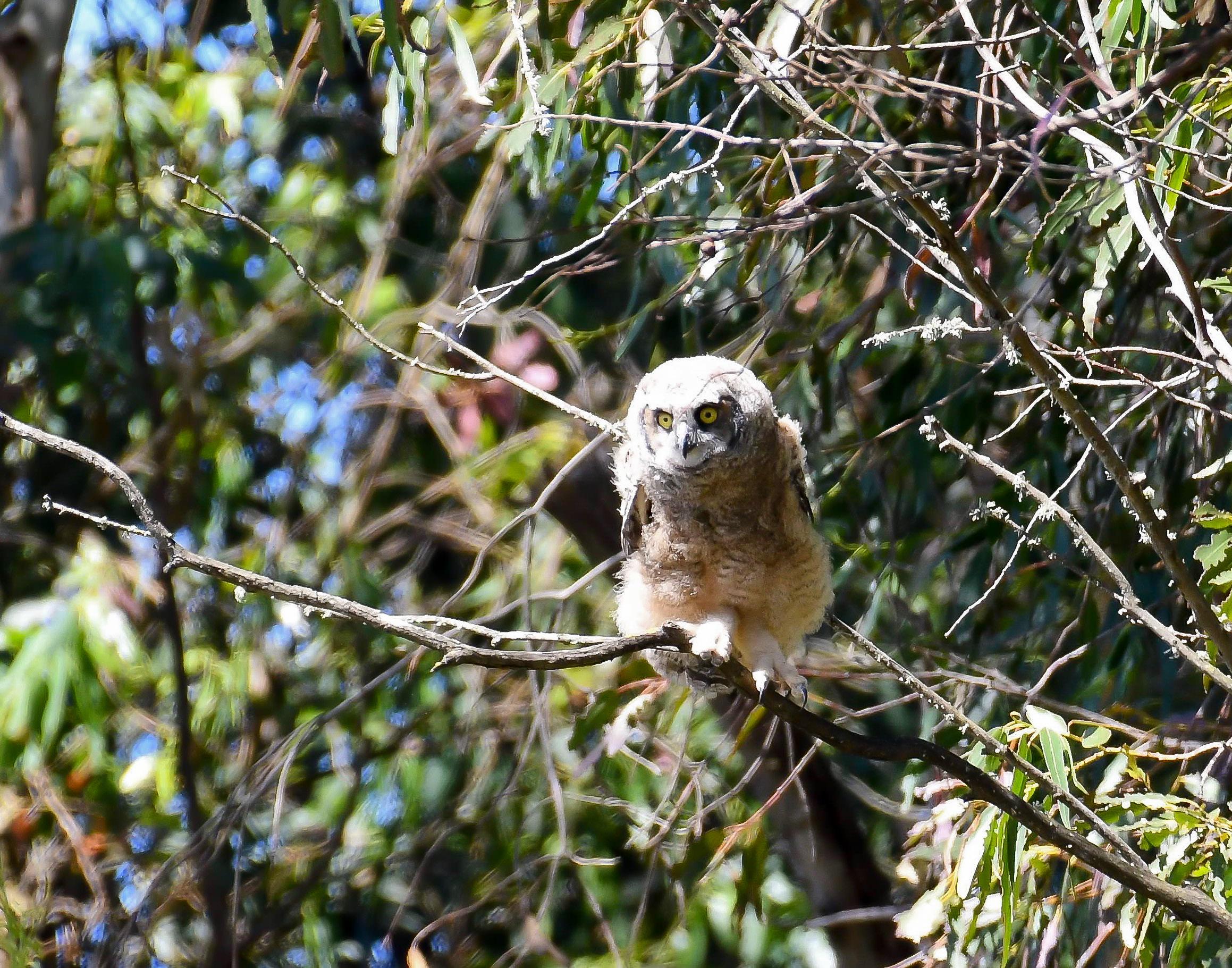 fledgling great horned owl branching.jpg