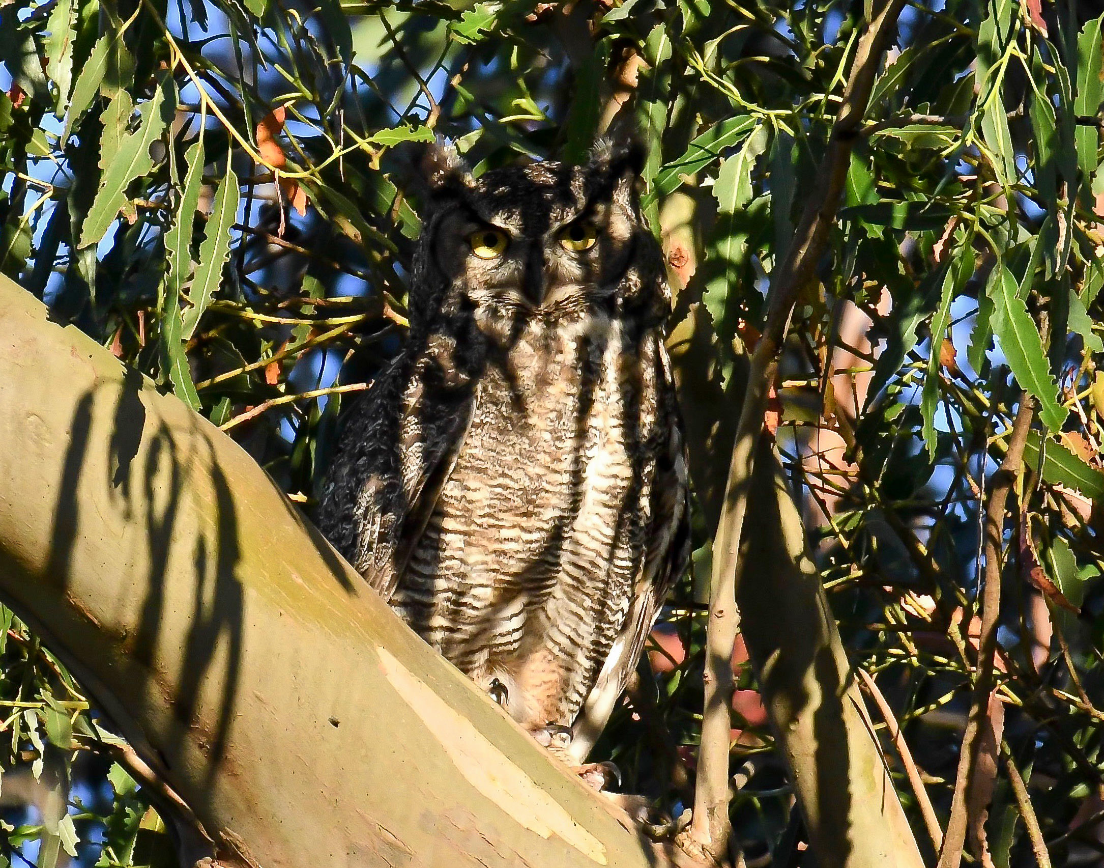 mother great horned owl guarding her young.jpg