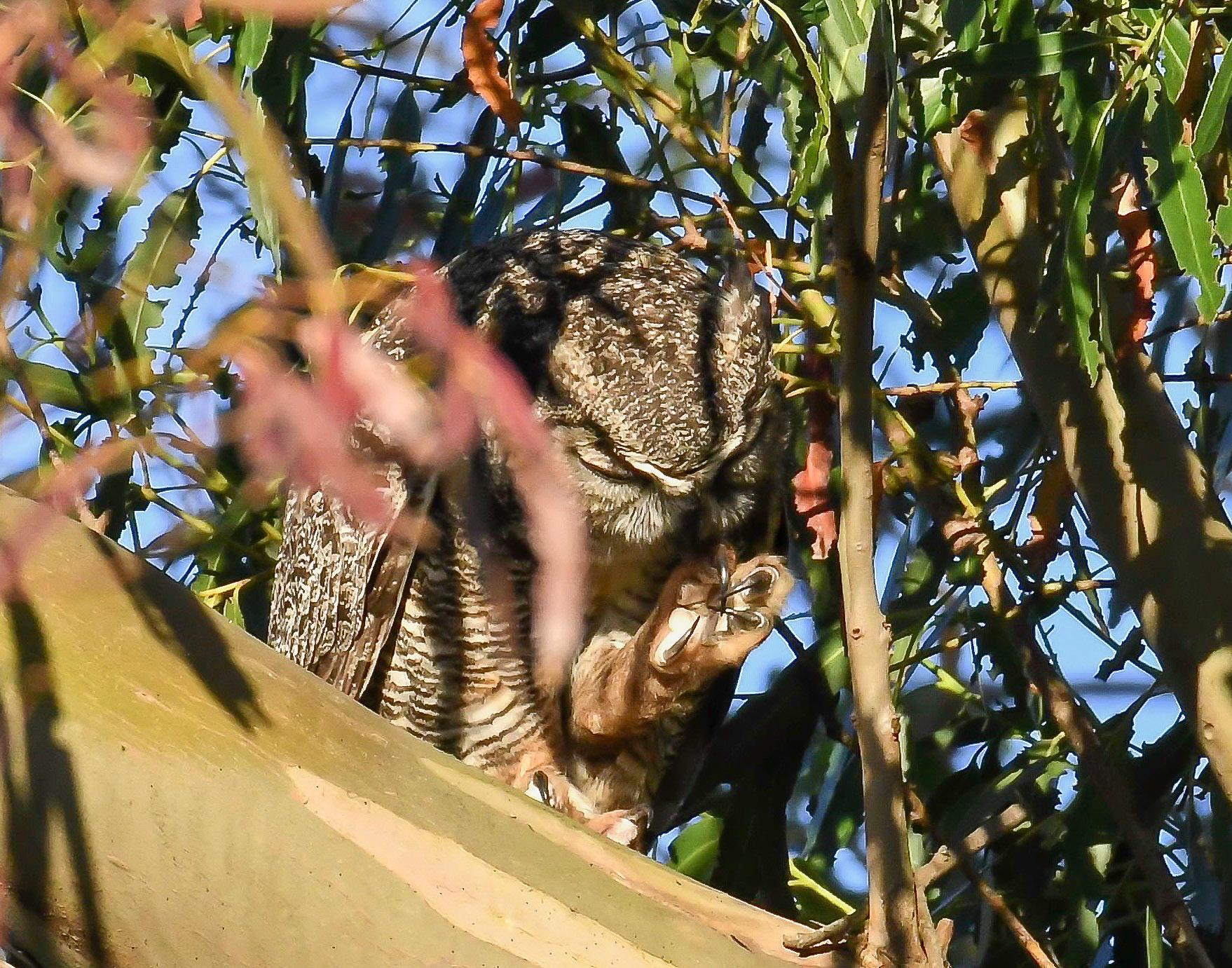 gGreat horned Owl grooming its talon