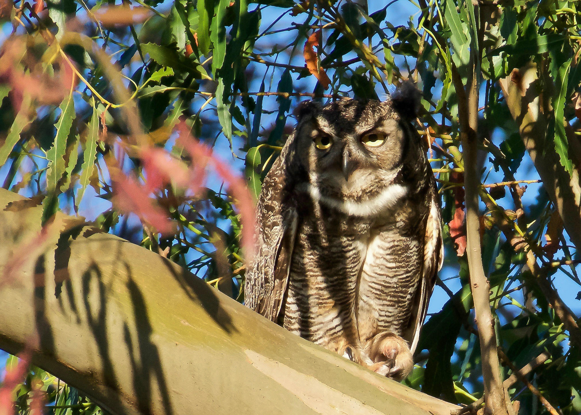 great horned owl on duty guarding her young.jpg