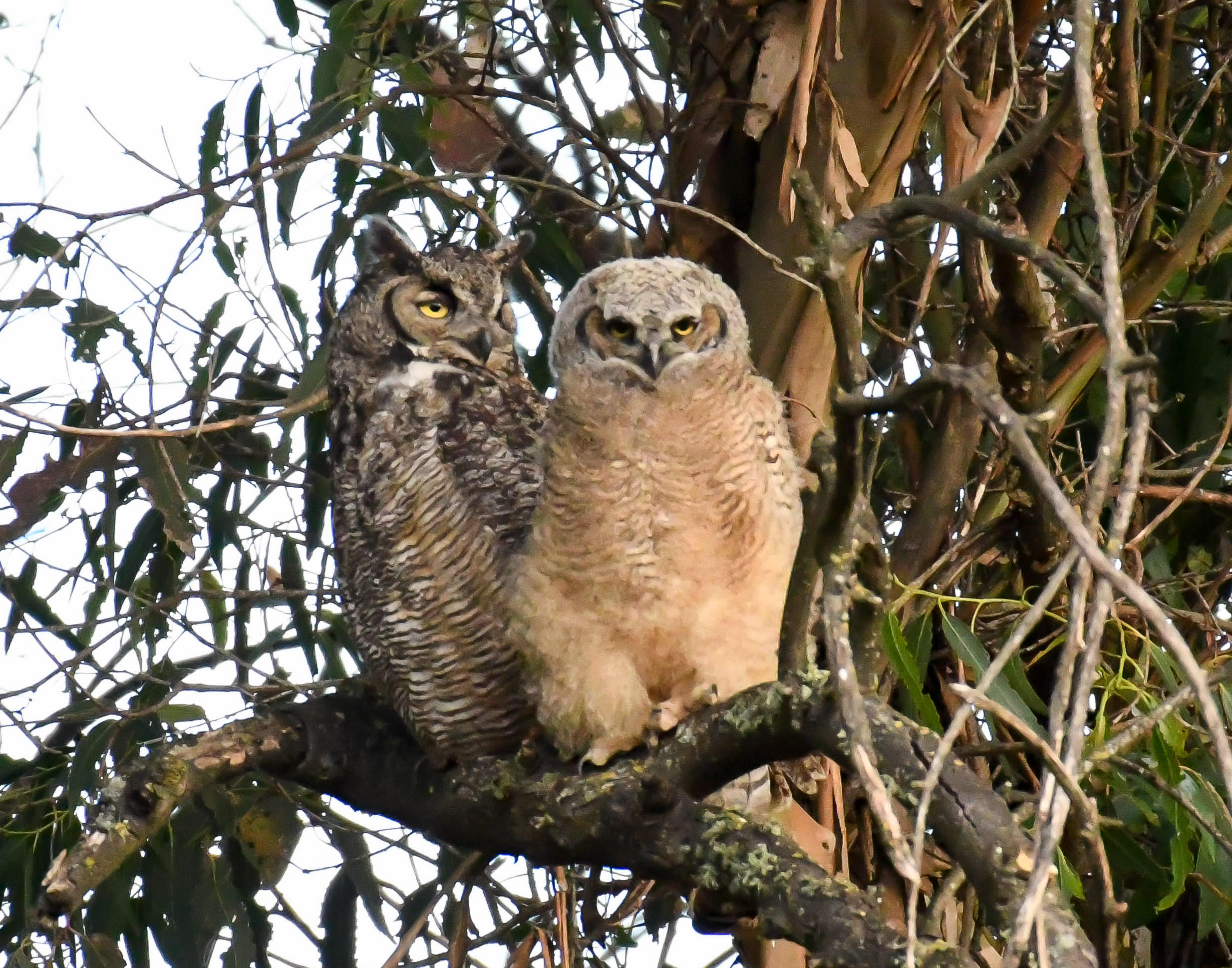 A great horned owl mother with her young fledgling perched on a branch of a eucalyptus tree