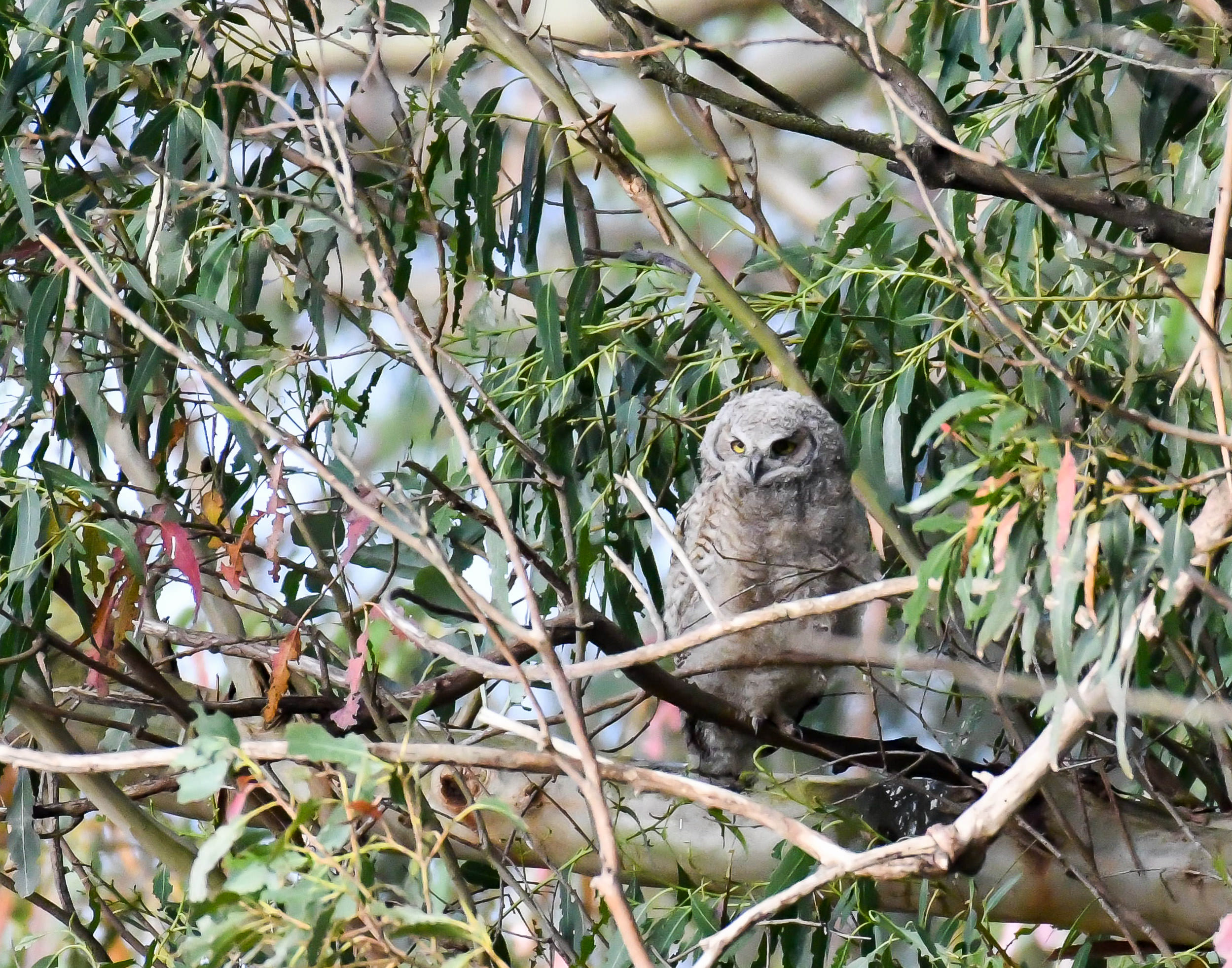 A fledgling great horned owl in a tree