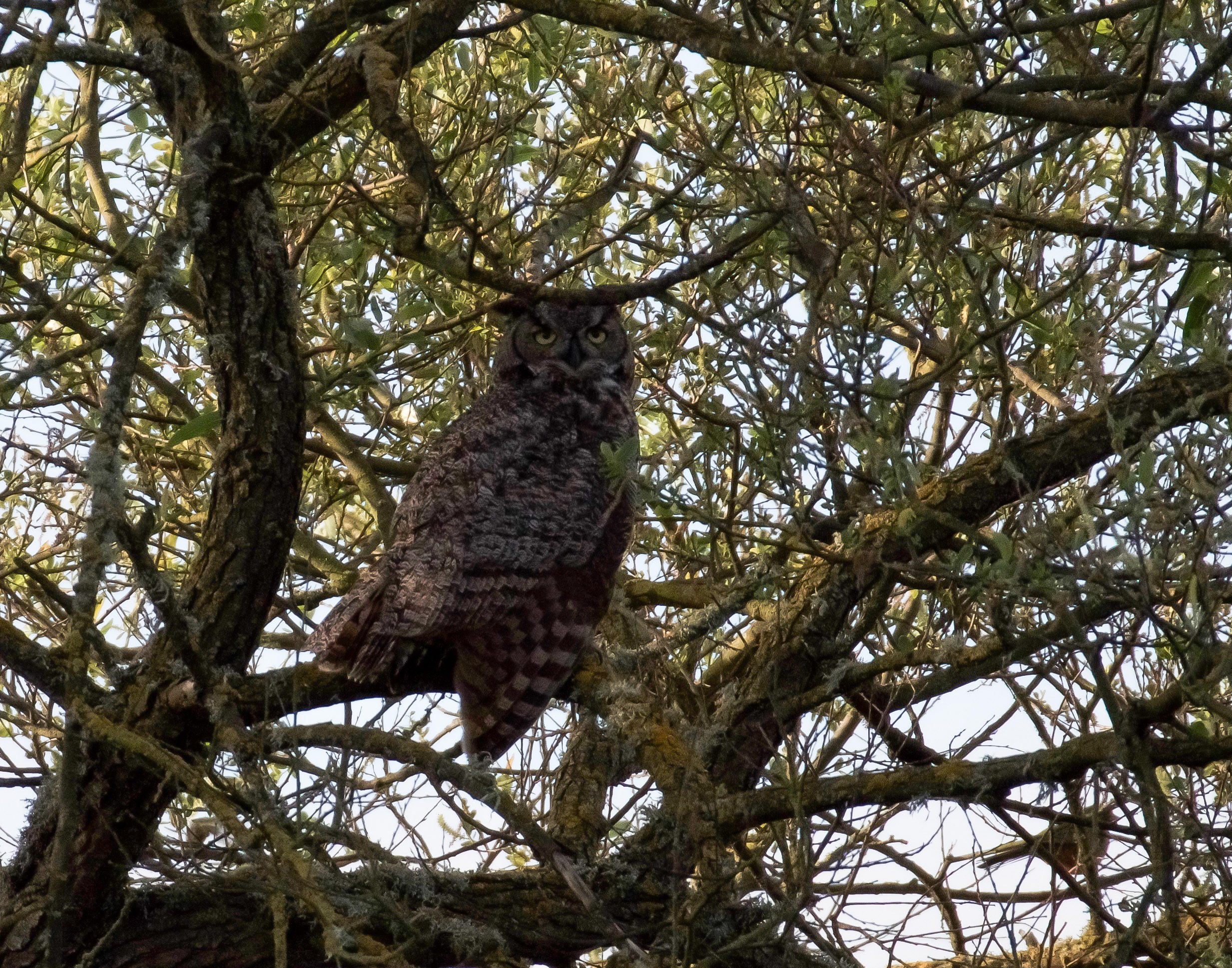 A great horned owl perched in the shade of a large willow tree