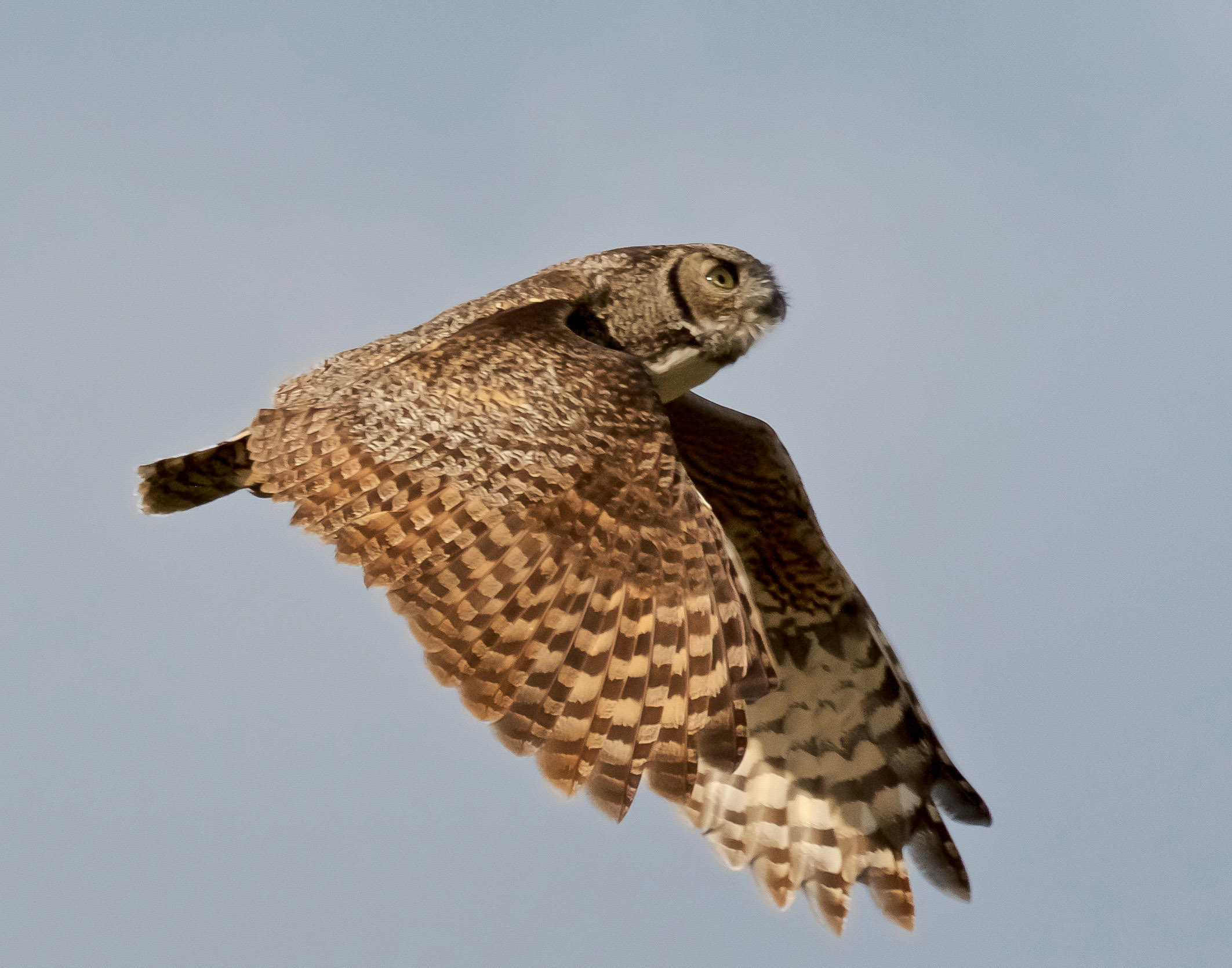 A great horned owl in flight in good lighting with good focus