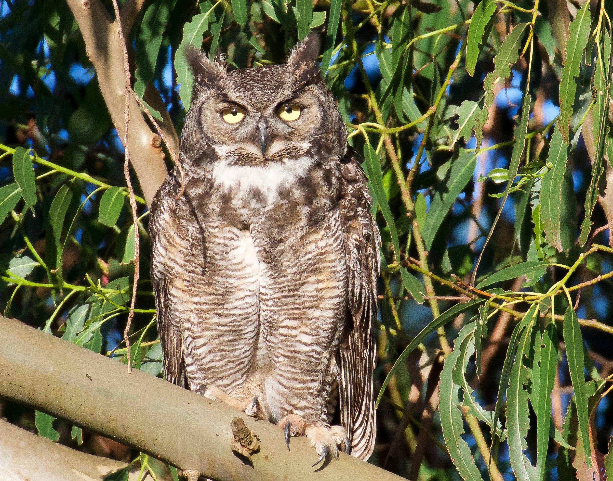 A great horned owl perched high in a eucalyptus tree in Petaluma, California.