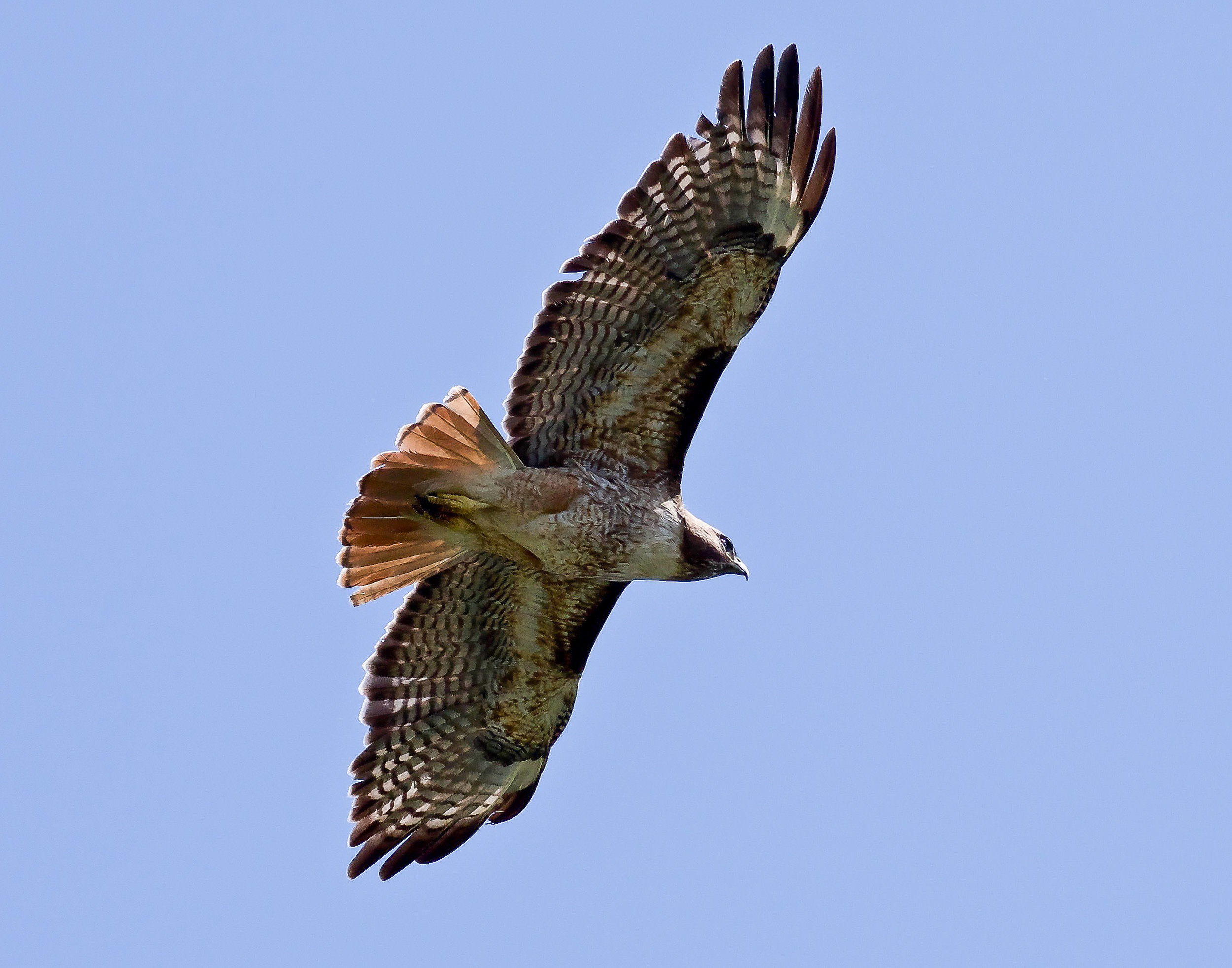 A red-tailed hawk in flight