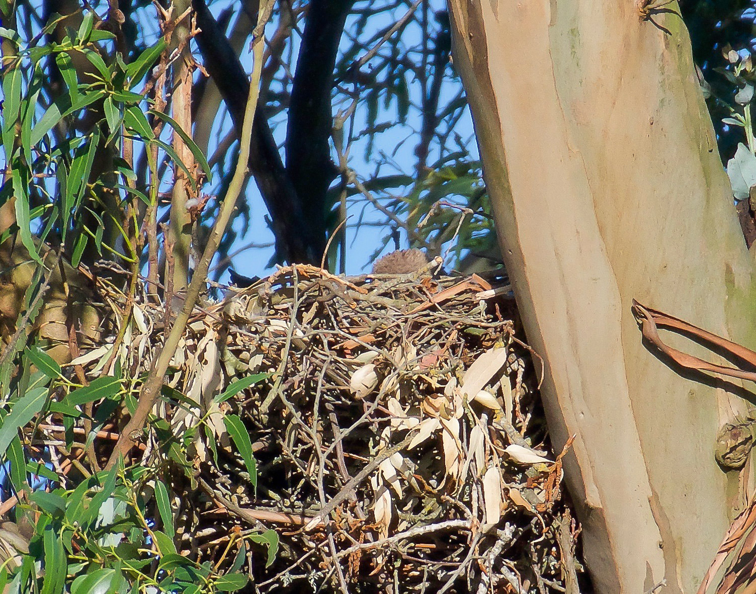 A baby red-tailed hawk in its nest in Petaluma, California