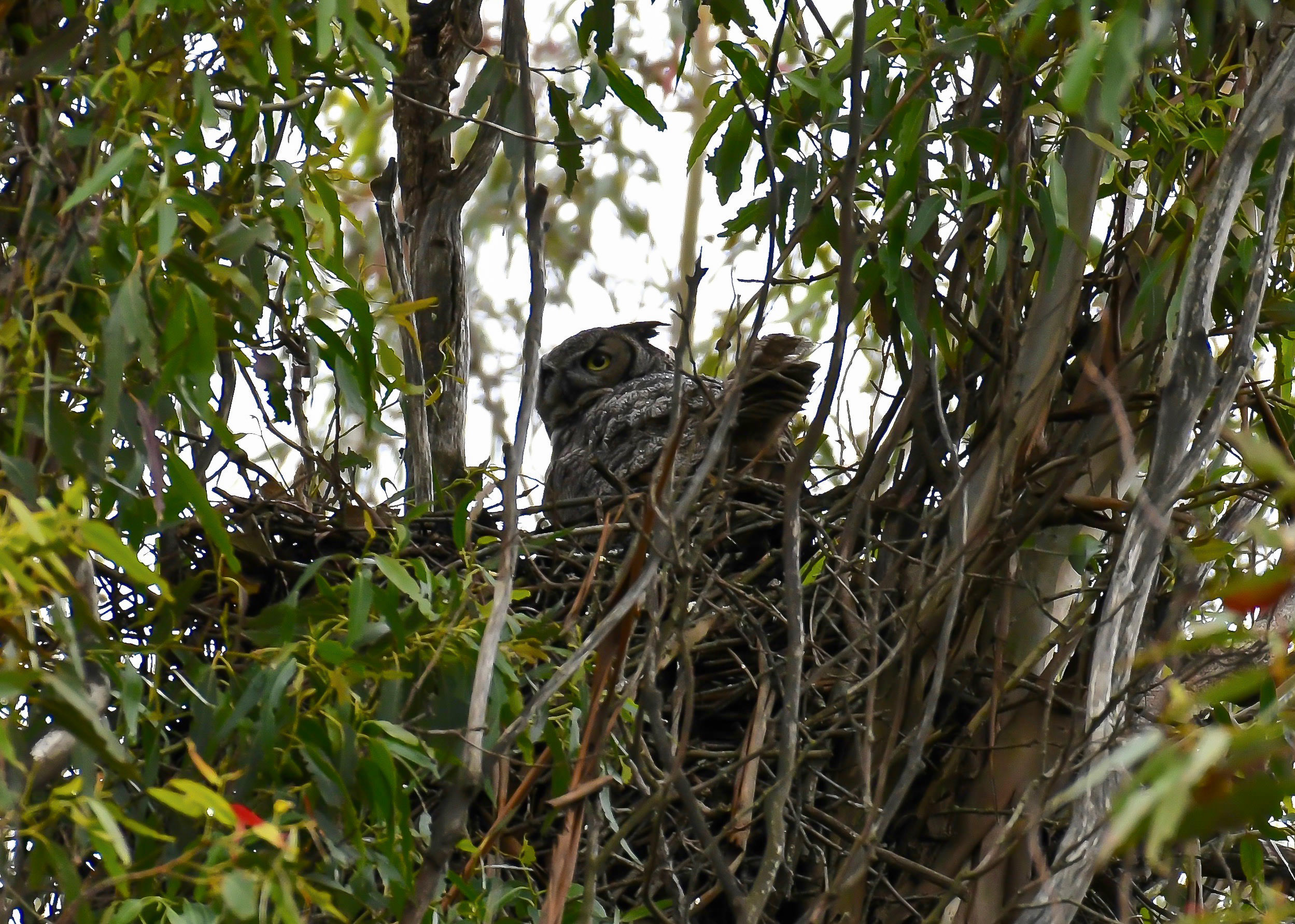 A mother Great Horned Owl with baby owls in nest, Petaluma, Sonoma County, California