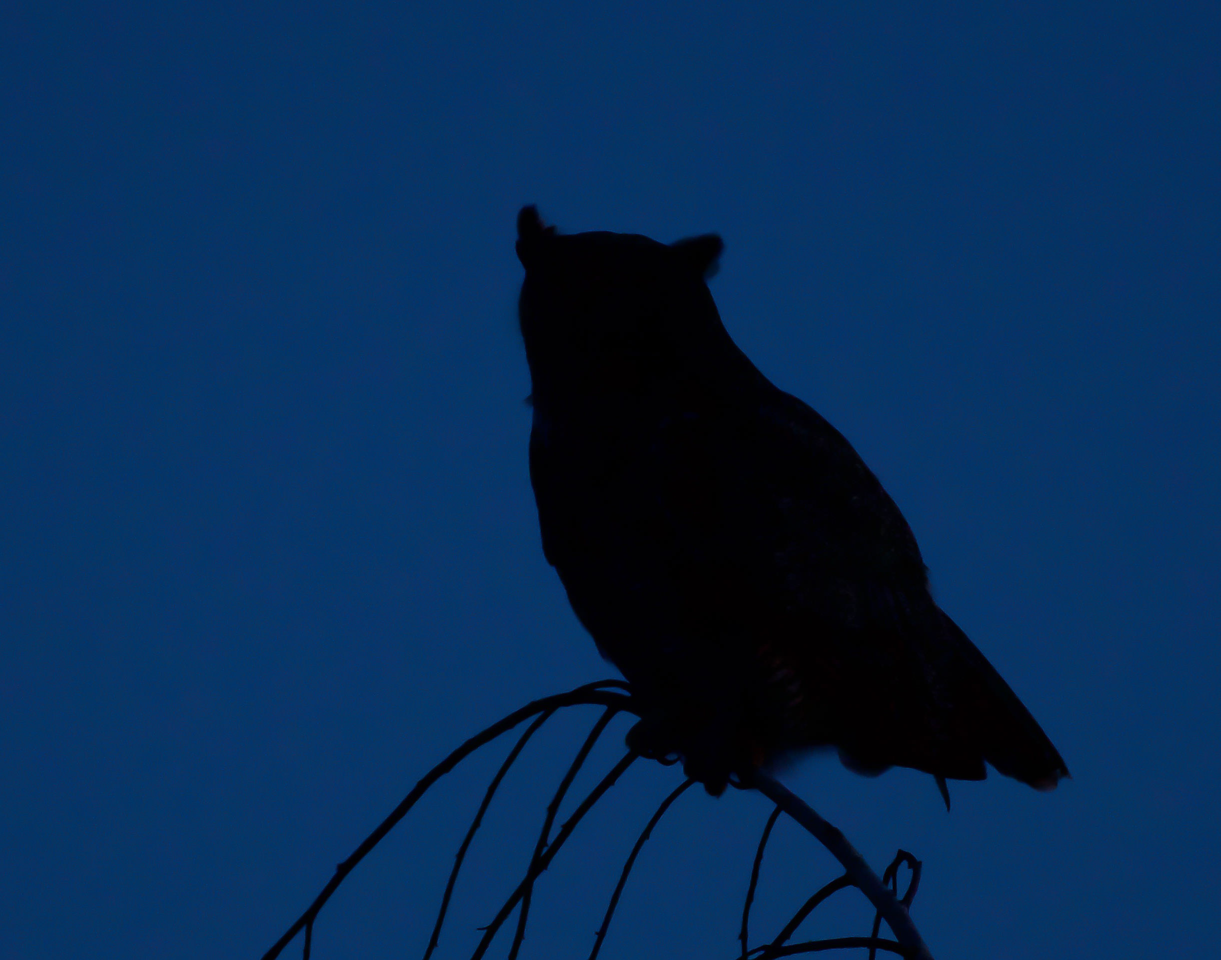 A great horned owl perched in silhouette in the evening sky
