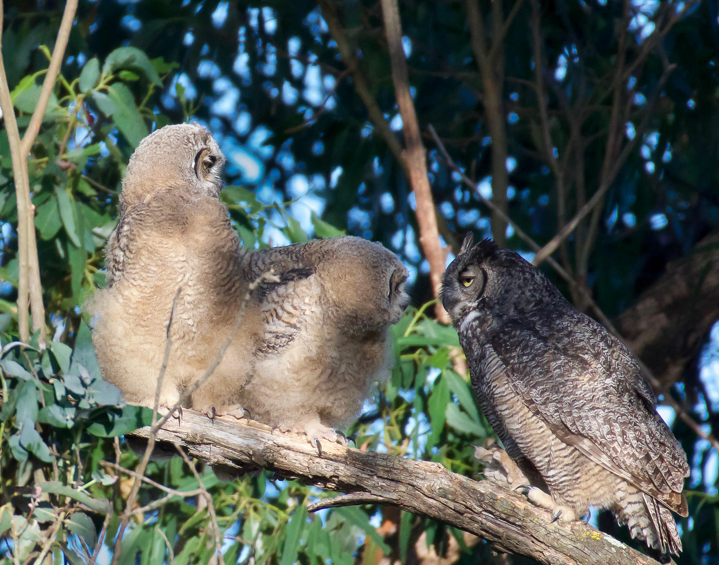 A mother Great Horned Owl with her two juvenile fledglings on a branch, looking at each other